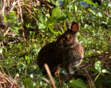 Marsh Rabbit on Alligator Alley.jpg