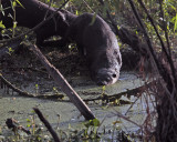Otters on Alligator Alley.jpg