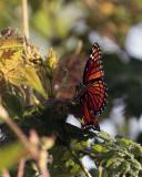 Circle B Butterfly.jpg