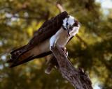 Osprey Feeding_filtered.jpg
