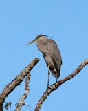 GBH in a tree on Marsh Rabbit Run.jpg