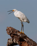 Circle B Egret on dead tree.jpg
