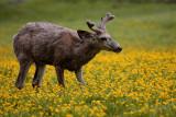 Deer in the Wildflowers.jpg