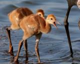 Sandhill Chicks on Wading Bird Way.jpg