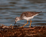 Lesser Yellow Legs on Wading Bird Way.jpg