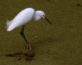 Egret in the marsh on Alligator Alley.jpg