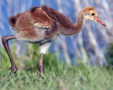 Sandhill Crane Chick.jpg