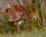 Sandhill Crane Chick Feeding.jpg