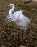 Egret on Marsh Rabbit Run.jpg