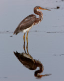 Tricolor Heron on Wading Bird Way.jpg