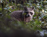 Racoon in the clover.jpg