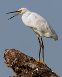 Egret on Allligator Alley.jpg