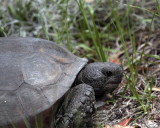 Highland Scrub Gopher Tortoise.jpg