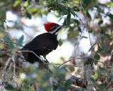 Pileated Woodpecker in my yard.jpg