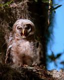 Juvenile Barred Owl 2.jpg