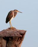 Tricolor Heron on a stump.jpg