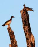 Wood Ducks on Dead Trees.jpg