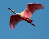 Roseate Spoonbill in Flight at Heron Hideout.jpg