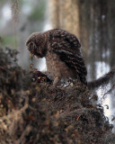 Juvenile Barred Owl Eating a Bird.jpg