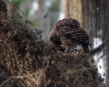 Juvenile Barred Owl Feeding.jpg