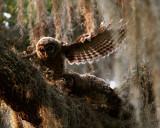 Owlfight 2.jpg