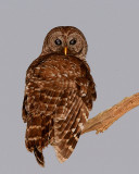 Barred Owl at the End of the Branch Vertical.jpg