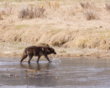 Wolf in the River at Lamar Valley.jpg