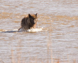 Wolf in the River at Lamar Valley Coming Forward.jpg