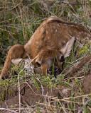 Newborn Elk.jpg