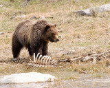 Grizzly on a Carcass by the Pond.jpg