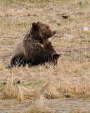 Grizzly Resting After a Meal.jpg