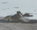 Wolf Stretching on the Beach at Nymph Lake.jpg