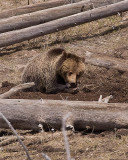 Grizzly Digging for Prairie Dogs Near Madison.jpg