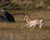 Pronghorn Antelope on the Run.jpg