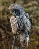 Great Grey Owl Perched.jpg