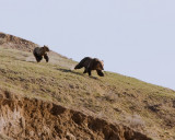 Sow and Cub Grizzlies Running Near Elk Antler Creek.jpg