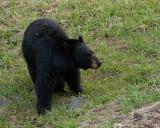 Black Bear Near Phantom Lake.jpg