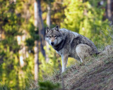 Wolf Sitting at Canyon Junction.jpg