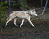 Wolf at Canyon Junction.jpg