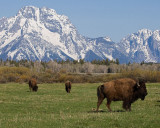 Bison Grazing at the Tetons.jpg