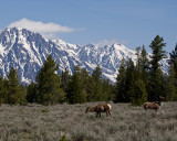 Elk Grazing at the Tetons.jpg