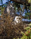 Great Horned Owl with Chick at Mammoth.jpg