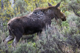Ox Bow Bend Moose in the Brush.jpg