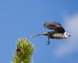 Grey Jay Flying.jpg