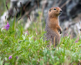 Arctic Ground Squirrel at Savage River in the Wildflowers.jpg