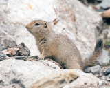 Arctic Ground Squirrel at Savage River on the Rocks.jpg