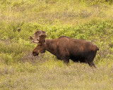 Bull Moose in the Thicket.jpg