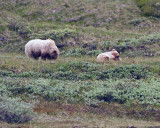 Denali Grizzly and Cub Eating Caribou.jpg
