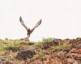 Golden Eagle Taking Off.jpg
