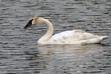 Trumpeter Swan Near Wonder Lake.jpg